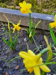 B2 Minature Daffodils 2020 03 22