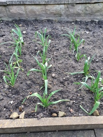 V6 Garlic 2020 03 22